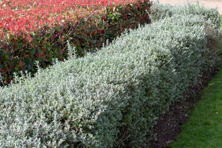 Photinia fraseri and shrubby germander bush hedges. Urban landscape design.