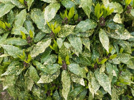 Spotted laurel bush hedge with new growth. Aucuba japonica plant 写真素材
