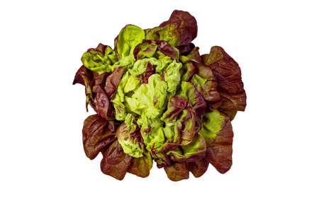 Green and purple lettuce salad head isolated on white 写真素材