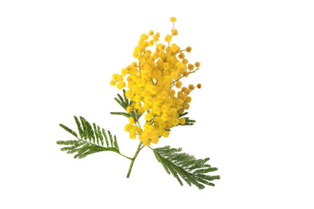 Acacia yellow fluffy balls and leaves. Mimosa spring flowers isolated on white. Silver wattle decorative plant.