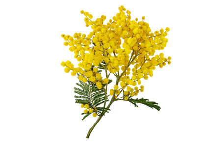 Silver wattle tree branch isolated on white. Mimosa spring flowers. Acacia dealbata yellow fluffy balls and leaves.
