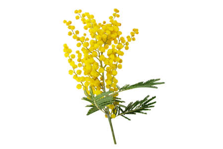 Wattle tree branch isolated on white. Acacia dealbata yellow fluffy balls and leaves.  Mimosa spring flowers. 写真素材