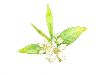 Branch of orange tree with white fragrant flowers, buds and leaves. Neroli blossom hand drawing watercolor and liner illustration.
