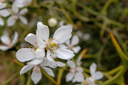 Trifoliate orange white fragrant flowers. Poncirus trifoliata flowering plant.