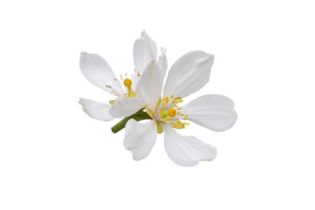 Citrus white flowers isolated on white. Trifoliate orange blossom. Poncirus trifoliata flowering.