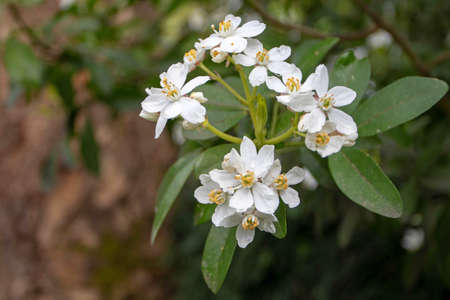 Choisya ternata branch with leaves and flowers. Mexican orange spring flowering.