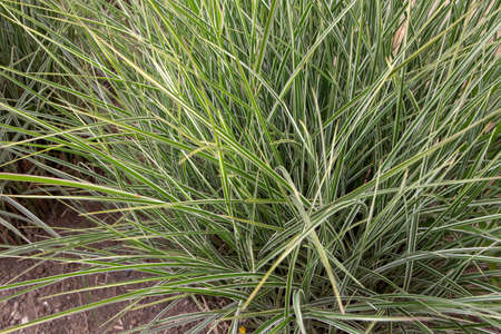Miscanthus sinensis variegatus or variegated silver grass plant