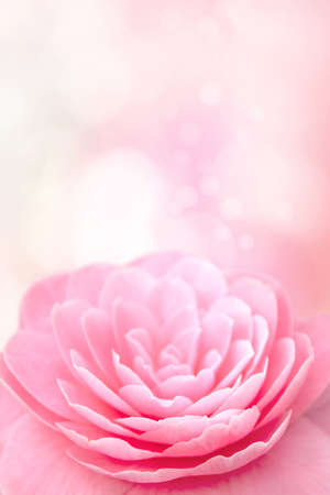 Pink camellia flower on the blurred vertical background.