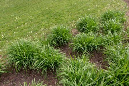 Molinia caerulea arundinacea in the spring garden. Tall purple moor grass. 写真素材