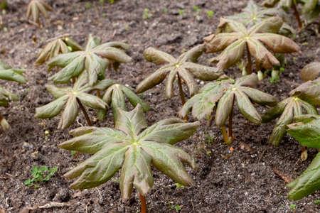 Podophyllum peltatum or mayapple or american mandrake or ground lemon leaves in the spring