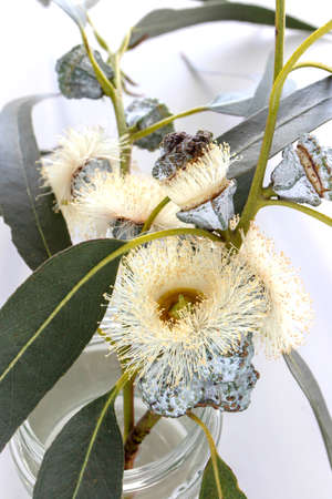 Eucalypt spring fluffy flowers bouquet in a glass jar. Eucalyptus decorative branches. 写真素材