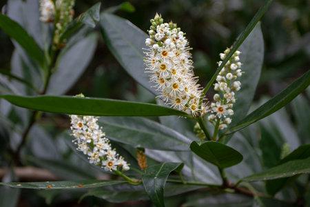 Prunus laurocerasus or cherry laurel branch with dark green leaves and white flowers