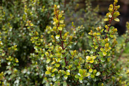Myrsine africana or cape myrtle or african boxwood or thakisa plant 写真素材 - 166963558