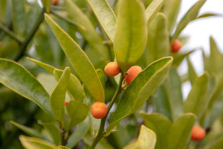 Hong Kong kumquat or fortunella hindsii plant with small orange decorative fruits 写真素材