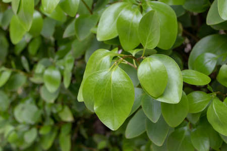 Griselinia littoralis or kapuka or New Zealand broadleaf branch with apical ovate leaves. 写真素材 - 167344363