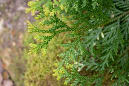 Thujopsis dolabrata or hiba or false arborvitae branches
