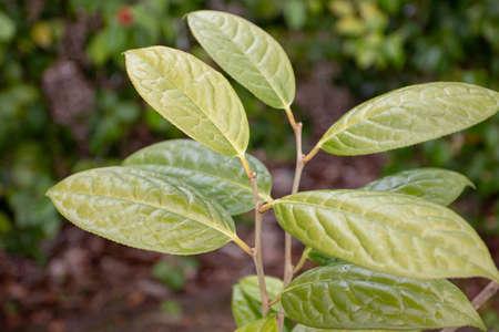 Camellia chrysantha or kinkaka or yellow camellia plant