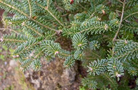 Abies koreana or korean fir coniferous tree branches 写真素材