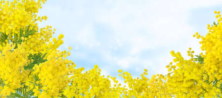Wattle tree branches on the blue sky background. Acacia dealbata yellow fluffy balls and leaves.  Mimosa spring flowers. 写真素材