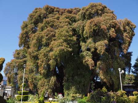 SANTA MARIA del TULE, NORTH AMERICA MEXICO on FEBRUARY 2018: Great Montezuma cypress tree at mexican city with stoutest trunk of the world at state of Oaxaca, clear blue sky in warm sunny winter day