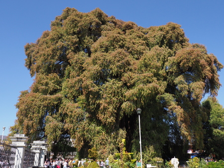 SANTA MARIA del TULE, NORTH AMERICA MEXICO on FEBRUARY 2018: Amazing Montezuma cypress tree at mexican city, stoutest trunk of the world at state of Oaxaca, clear blue sky in warm sunny winter day