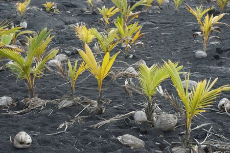 coconut seedlings: Coconuts sprouting in the dark volcanic soil of Hawaii�s Big Island