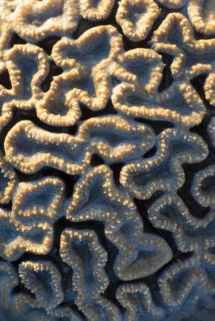 a brain coral, Favia sp, from the coral faimily Faviidae Stock Photo - 12675543