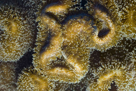 sarcophyton: A leather or toadstool coral