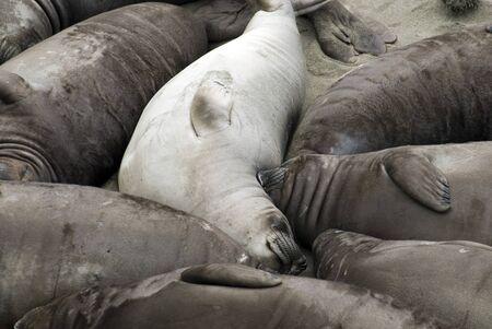 dozens: Dozens of seals huddled together on a Californian beach