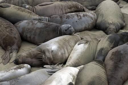 nuevo: Dozens of seals laying on the beach at Ano Nuevo, California