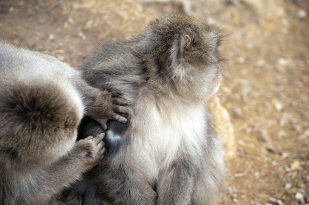 preens: Close up of friendly monkey preening friend for ticks and dirt to help him stay clean Stock Photo