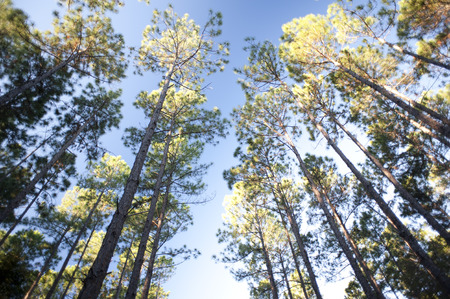 canopies: Looking up from below at the leafy green canopies of a copse of tall trees in a forest plantation against a blue sky Stock Photo