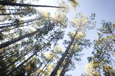 Looking up into a tall plantation of trees with leafy canopies against a blue summer sky in a renewable energy, forestry and fuel concept Stock Photo