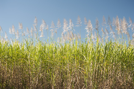 Sugarcane, Saccharum officinarum, canes growing in an agricultural field against a blue sky grown for their juicy sap which yields molasses and commercial sugar