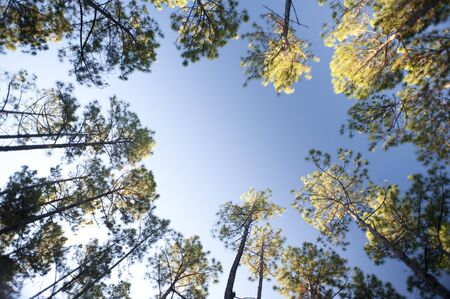 Frame of leafy green canopies on trees surrounding a clearing in a forestry plantation against a clear sunny blue summer sky with copy space Stock Photo