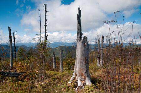 arboles secos: �rboles muertos en una cumbre en la selva negra alemana