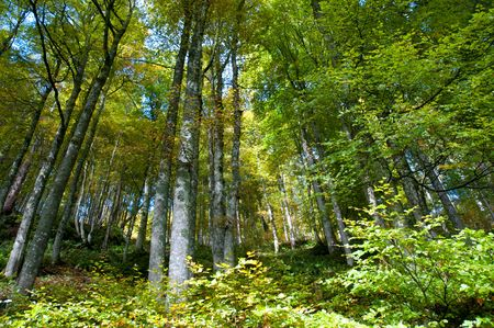 Beech trees (Fagus sylvaticus) in the German black forest Stock Photo