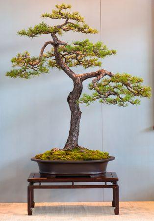pinus sylvestris: Scotch pine (Pinus sylvestris) as bonsai tree