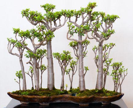 Crassula sarcocaulis as bonsai forest in a pot