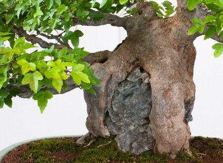 Ishizuki - Bonsai is growing over a stone Stock Photo - 8018812