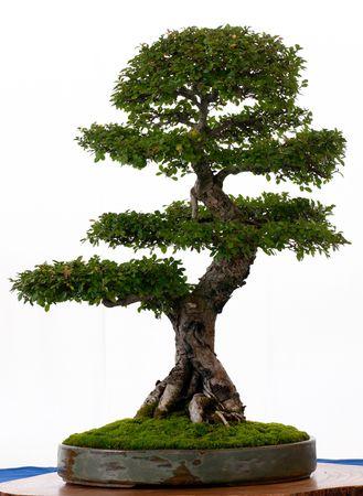 Chinese elm  (Ulmus parvifolia) as bonsai in a pot