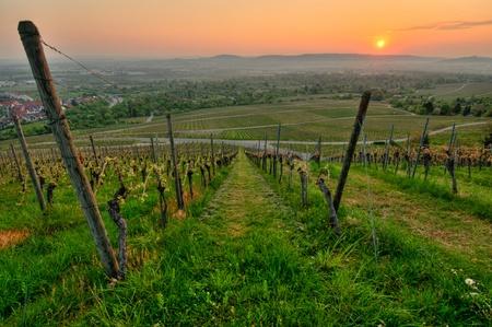 春にドイツのブドウ園での朝の太陽 写真素材