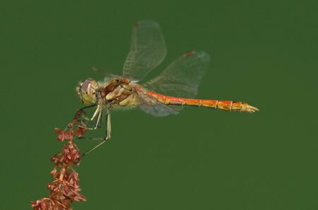 vulgatum: Red Dragonfly Sympetrum vulgatum is sitting on a grass on green background Stock Photo