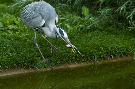 Gray heron is fishing successful Stock Photo - 9474251