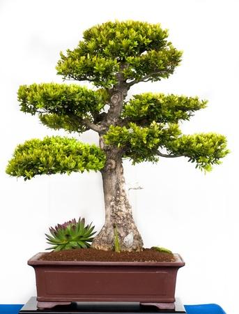 pflanze: Boxtree (Buxus sempervivum) in a bonsai pot Stock Photo
