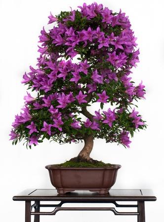 Violett Blumen der eine Azalee Bonsais Standard-Bild - 9609667