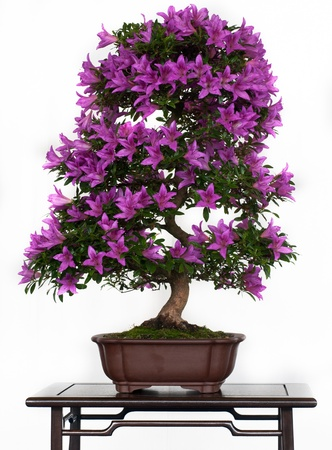 Violett flowers of a azalea bonsai Stock Photo