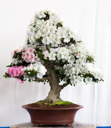 Rhododendron indicum bonsai in a pot photo