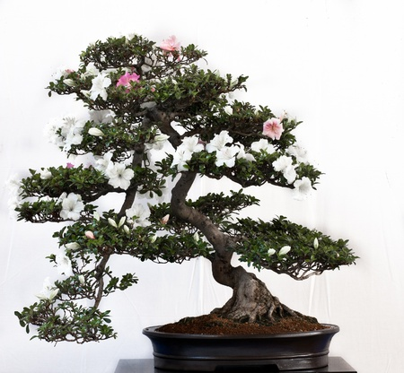 Satsuki Azalea als Bonsai Tree in einem Topf Standard-Bild - 9609668