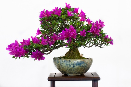 Rhodendron as bonsai with flowers Stock Photo